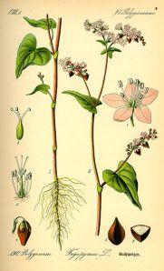 Tavola Fagopyrum Esculentum - Grano Saraceno